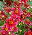 Coreopsis verticillata ´Limerock Ruby´