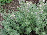 Thymus citriodorus ´Silver Queen´
