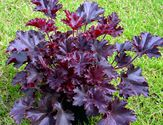 Heuchera americana ´Melting Fire´
