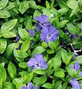 Vinca minor ´Bowles Variety´