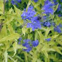 Caryopteris clandonensis ´Worcester Gold´