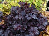 Heuchera hybrida ´BLack Beauty´