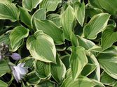 Hosta hybrida ´Wide Brim´